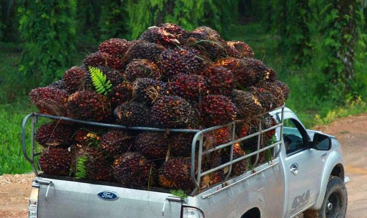 Fresh palm fruit bunches - How to extract palm oil from palm fruit bunches?